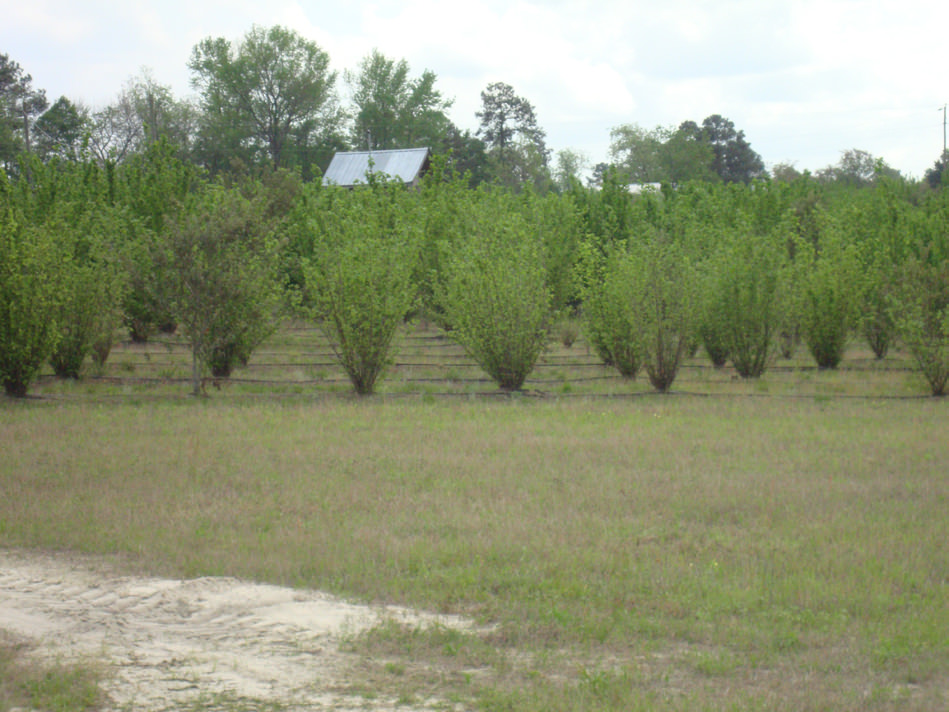 Large trees at the farm