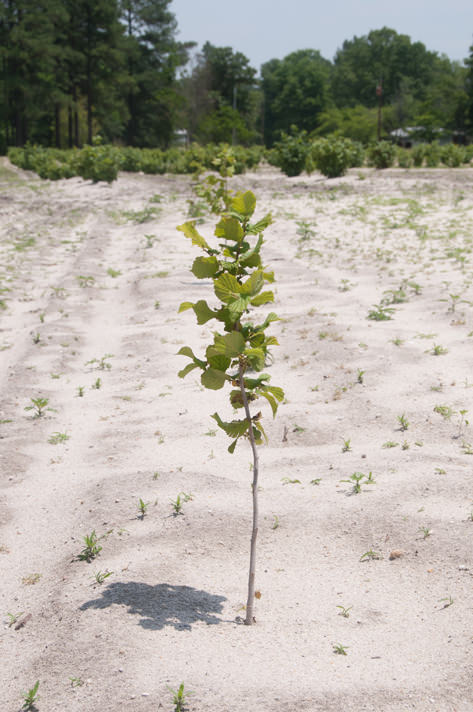 Young truffle tree