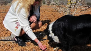 Dog sniffing for truffles