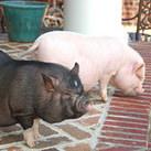 Truffle hunting pigs