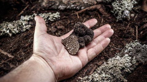 Man hand showing a black truffle