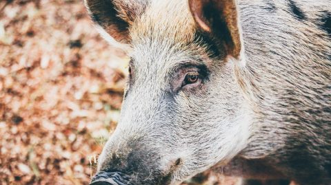 Close-up of a wild boar