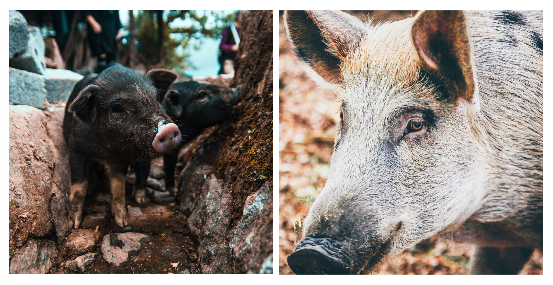 Close-up of pig and wild boar